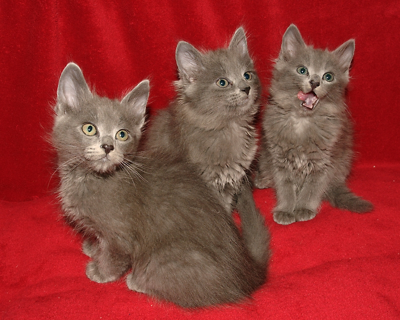 bengal cats for sale in tn