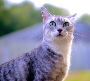 Natural Cat Breeds