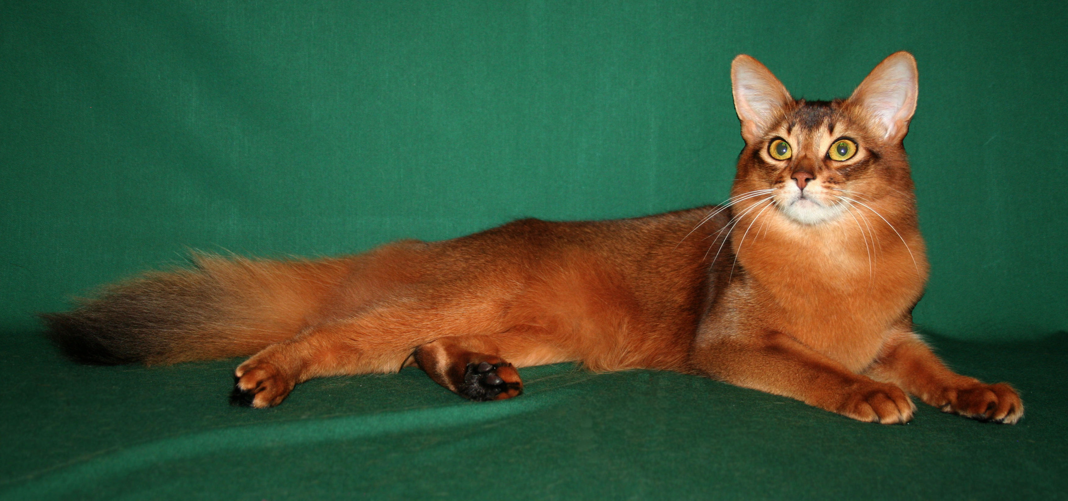 Somali Cat Blue, Ruddy, Red Breed Info, Personality, Grooming ...