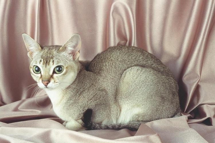 singapura cat breed info history personality kittens