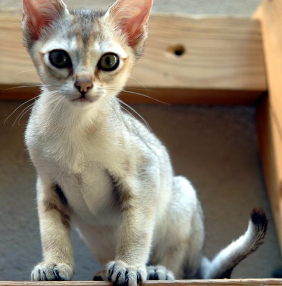 savannah cat height