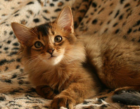 Somali Cat For Sale Australia
