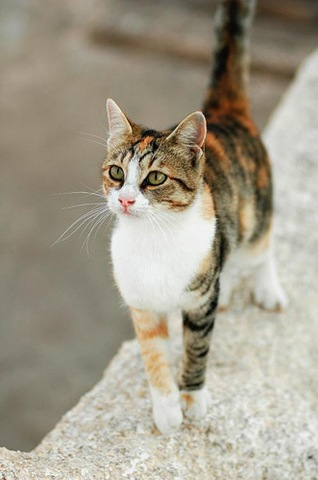 Aegean Cat Info, Personality, Grooming, Kittens, Diet, Pictures