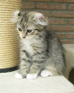 American Fold Ear Cat