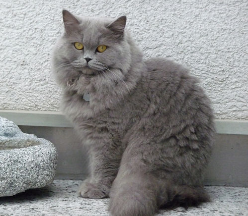 how much are siberian cats
