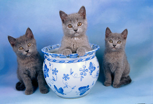 Chartreux Cat Info, History, Personality, Kittens, Diet ...