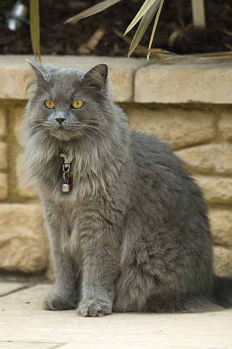 cat with ear tufts