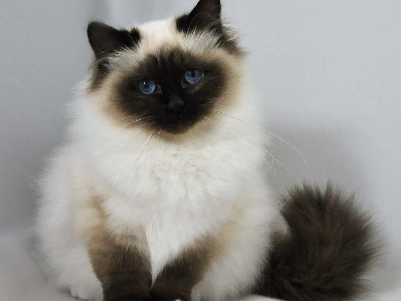 Birman cat info history personality kittens diet picture - Himalayen chat ...