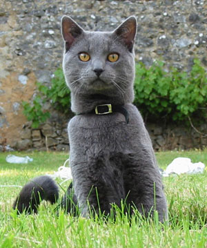Chartreux Cat Info History Personality Kittens Diet