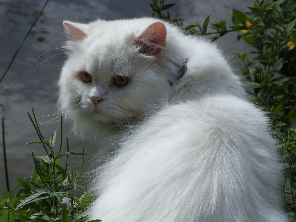 British Longhair Cat Info Kittens Temperament Care