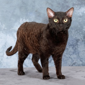German Rex Cat Info Temperament Care Pictures
