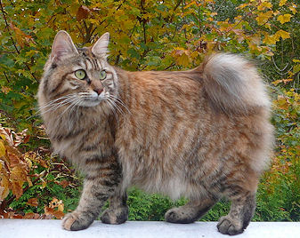 Kurilian Bobtail Cat For Sale