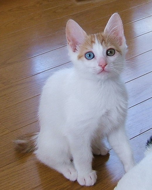 White Asian Cats With Blue Eyes