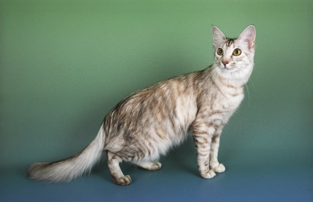 Oriental Longhair Cat Info, Temperament, Care, Training ... Oriental Cat Lifespan