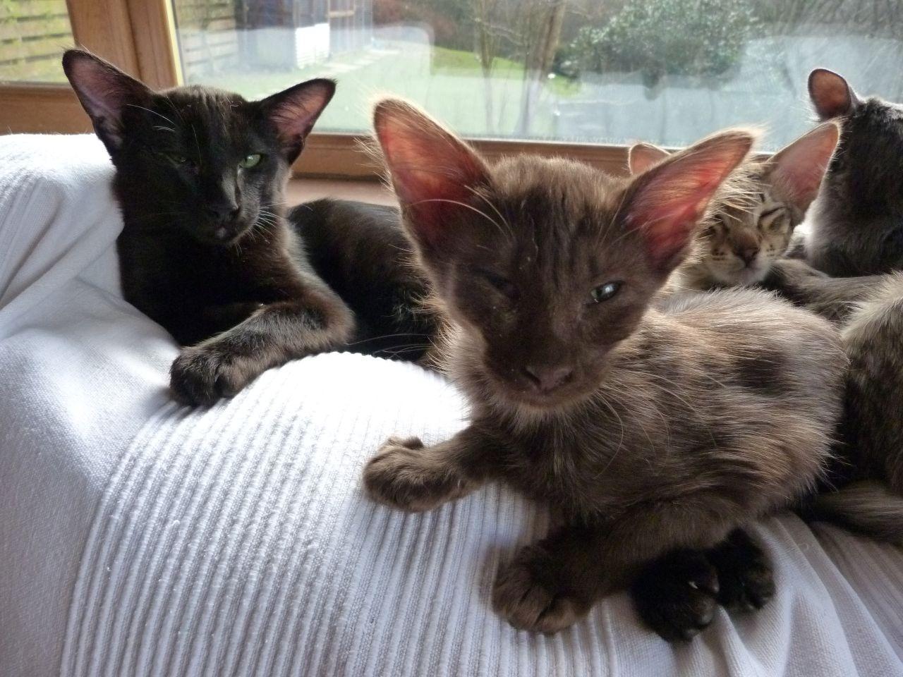 Oriental Longhair Kittens Oriental Shorthair Cat is a breed of