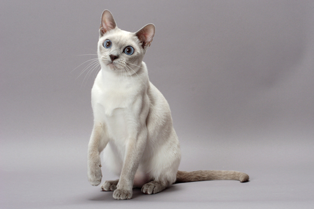 Tonkinese Cat Info Personality Care Training Kittens