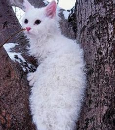 LaPerm Cat Info, Tempe...