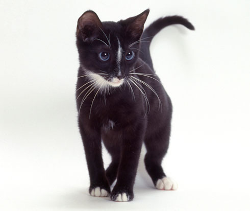 Ojos Azules Cat Info, History, Personality, Kittens, Diet ...