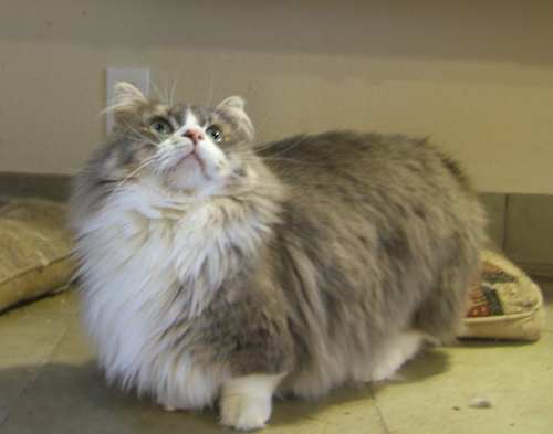 Napoleon Cat Info History Personality Care Kittens