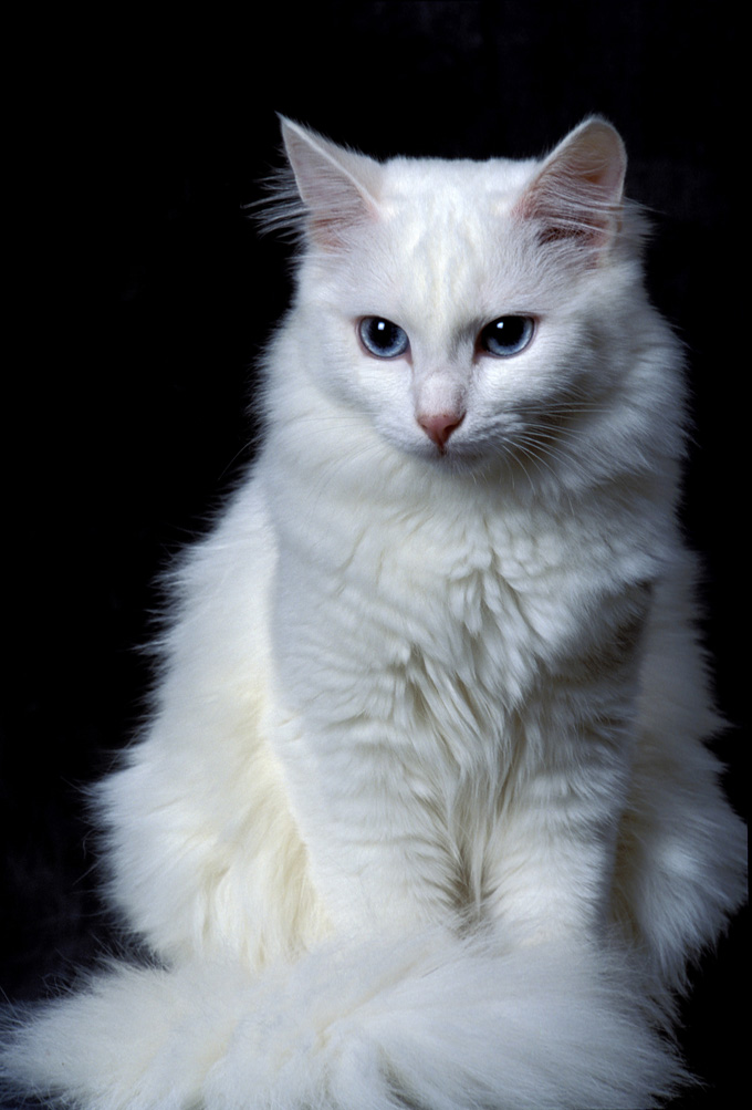 Fluffy White And Grey Cat Turkish Angora Cat Inf...