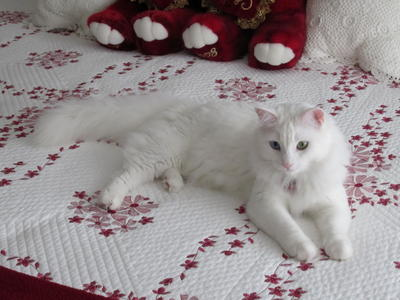 Turkish Angora Cat Info Personality Kittens Pictures
