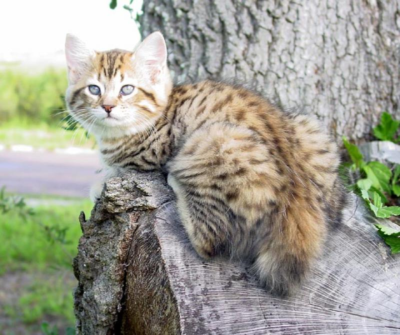 what age can a male cat breed