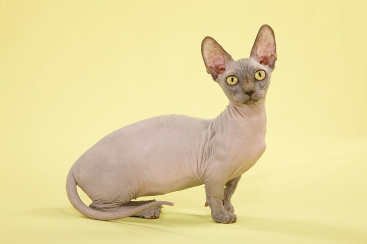 Naked Cat Breed