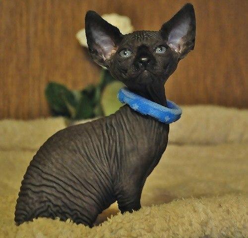 Cat Black Quick