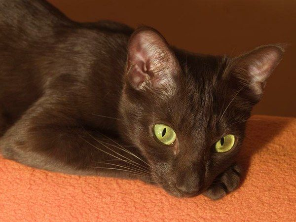 Havana Brown Cat Info, History, Personality, Care, Kittens ...