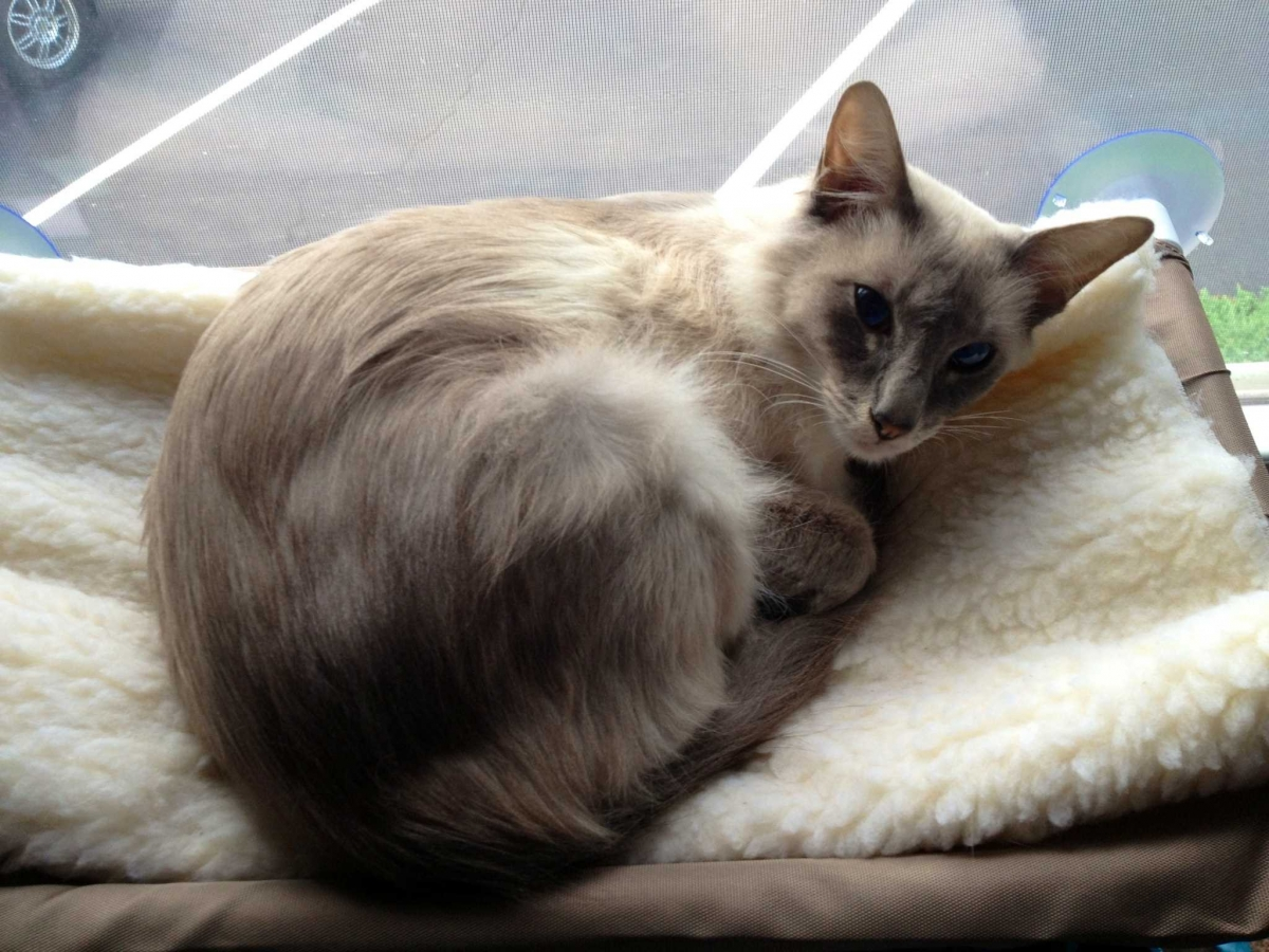 Javanese Cat Info Personality Kittens Pictures