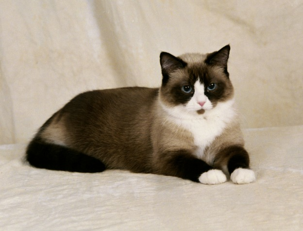 Snowshoe Cats For Sale In Canada