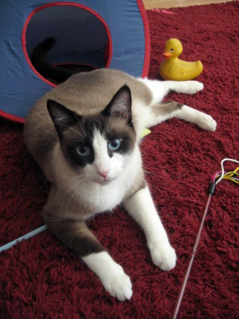 Snow Shoe Cat Breed Info History Personality Care