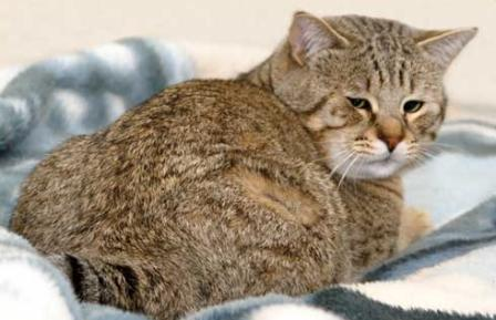 Pixie-Bob Cat Breed Info, History, Personality, Care ...