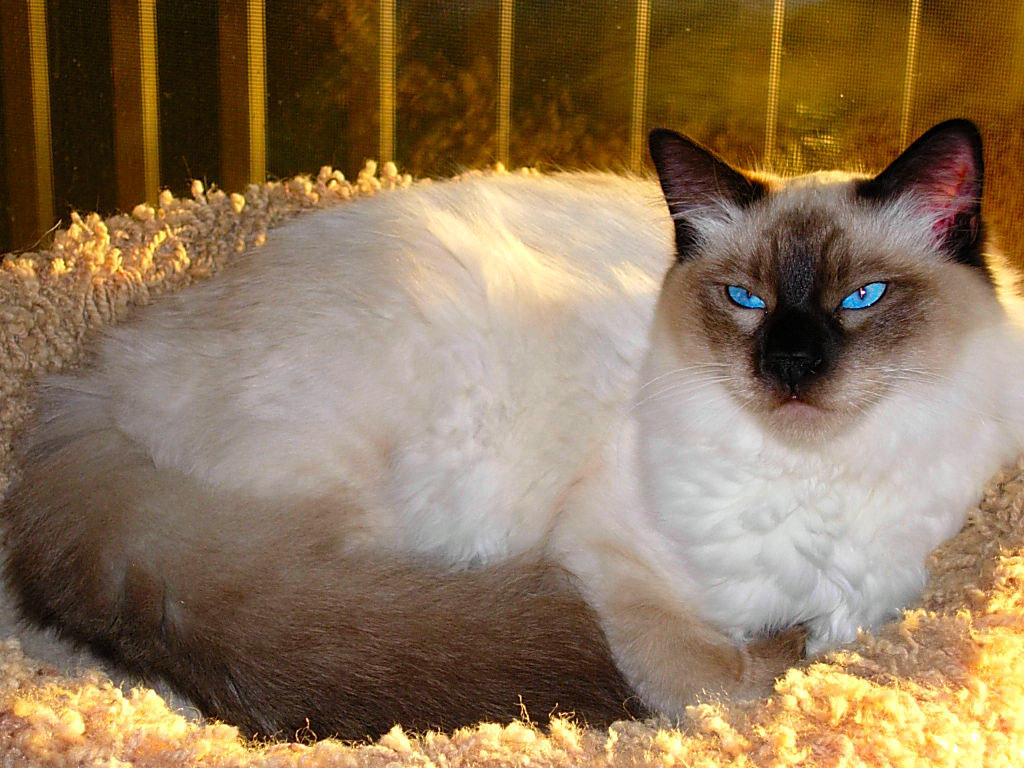 10 Most Popular and Long Hair Cat Breeds