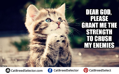 Funny Memes For Your Crush : Cat memes cat breed selector