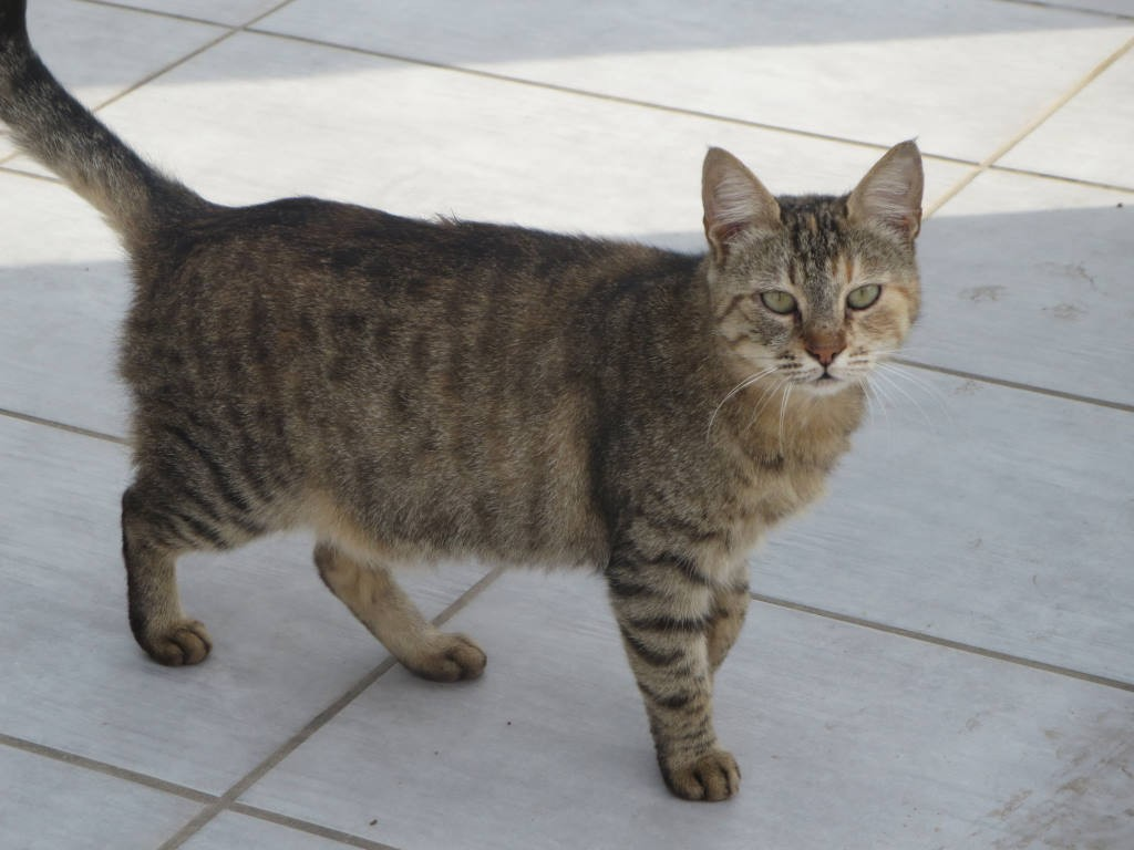 spaying a pregnant cat