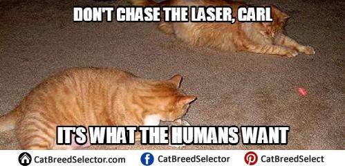 Laser Cat Memes 1 cat memes cat breed selector