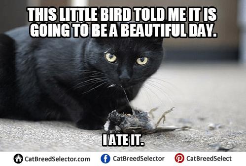 Angry Cat Memes Cat Breed Selector