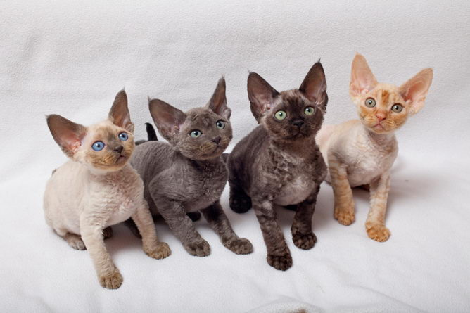 Devon Rex Cat Info History Personality Kittens Pictures