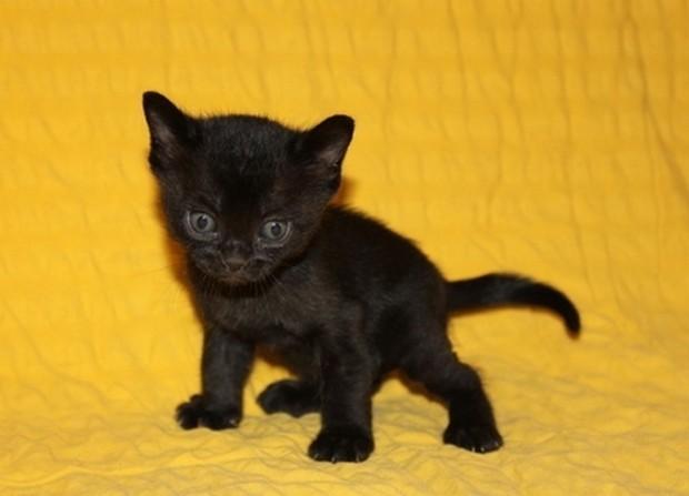 Bombay Cat Breed Personality