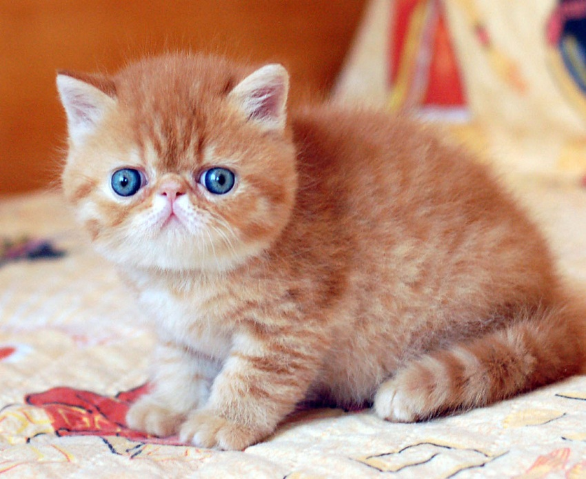 Exotic Shorthair Info, Kittens, History, Personality, Pictures Exotic Shorthair Tabby