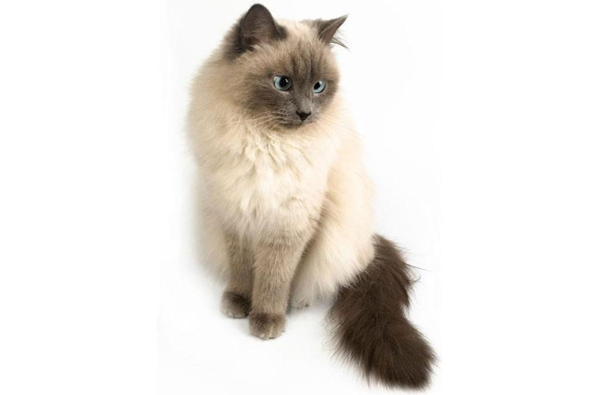 Himalayan Cat Info Temperament Grooming Life Expectancy