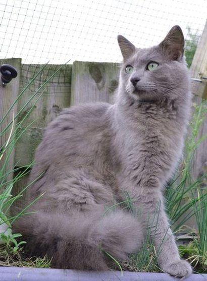 Soft Cat Food >> Nebelung Info, Personality, Pictures, Kittens