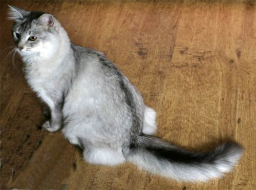 Cross Breed Cats With Wild Cats