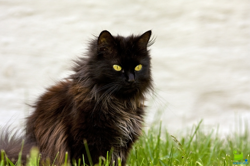 Types Of Black Long Haired Cat With Green Eyes