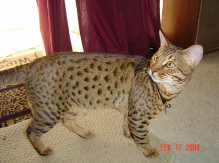 Cheetoh Cat Info, Kittens, Personality, Pictures | Cat Breed