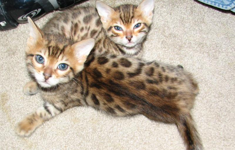 Cheetoh Cat Info, Kittens, Personality, Pictures | Cat Breed Selector