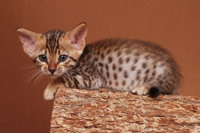 A Bengal Cats Personality Cheetoh Cat Info, Kitt...