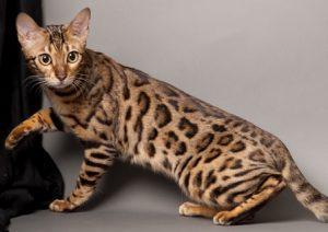 Medium Cat Breeds