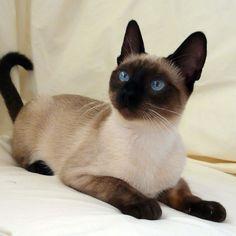 Point Coloration Cat